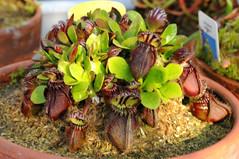 cephalotus follicularis (syscann) Tags: piante carnivore carnivorousplants cephalotus