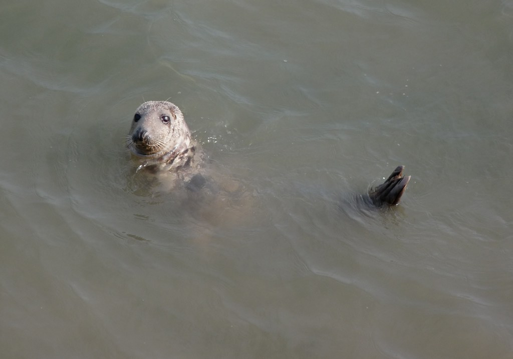 23951 - Grey Seal, Worms Head, Rhossili, Gower