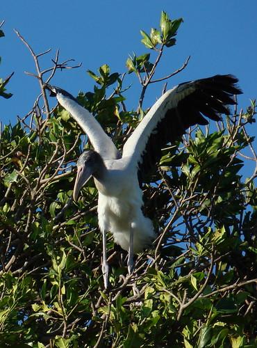 Wood Stork nestling