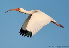 White Ibis (Image Hunter 1) Tags: blue sky eye nature birds flying wings louisiana flight beak feathers bayou swamp marsh wingspan whiteibis wingspread t2i lacassine birdslouisiana canont2i