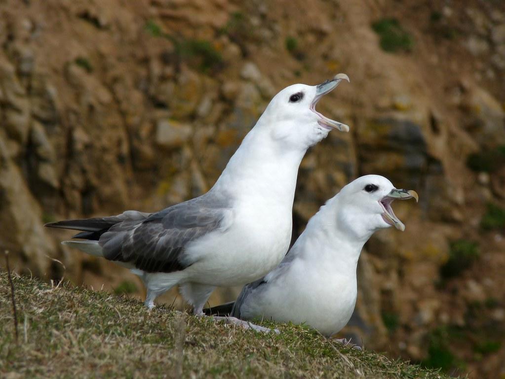 23983 - Fulmar, Stackpole Head, Pembrokeshire