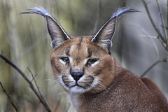 Caracal (Explored!) - namra38