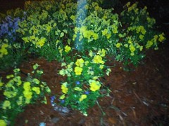Blossoming Yellow and White Flowers (~GoodLuckCharm~) Tags: colorful nicesmell prettypetals coursebiol1110sp11t assignmentplantstructure