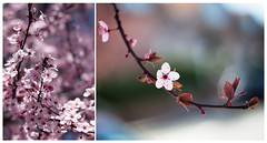 Stay (Kris *) Tags: pink flowers flores tree primavera canon cherry 50mm march spring diptych rosa marzo stay cerezo 2011 50d dptico xkrysx