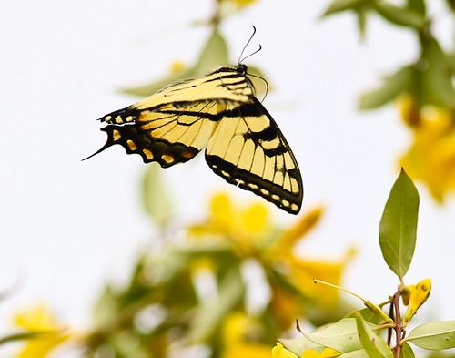 butterfly-1259