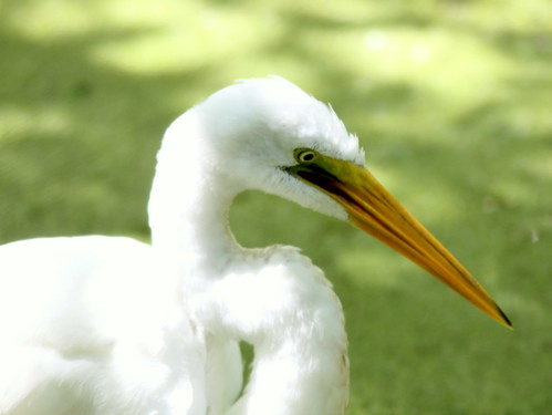 Great Egret 20110313