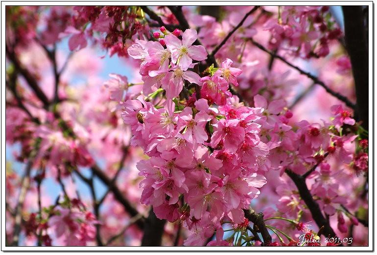 櫻花 (5)