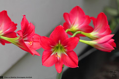 Red Lilly [Amaryllis ] (HamimCHOWDHURY  [Active 01 Feb 2016 ]) Tags: life blue red portrait blackandwhite white black green nature canon eos colorful faces blu sony surreal dhaka vaio rgb bangladesh dlsr flowerred 60d incrediblebengal hamimchowdhury 595036 framebangladesh gettyimagesbangladeshq2 gettyimagesbangladesq2 getthyimages
