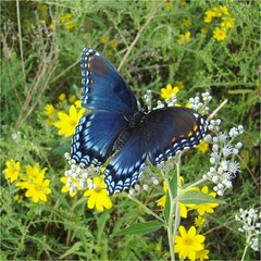 Spot-on! (Daisy Mai-ling) Tags: blue nature butterfly goldenrod lepidoptera admiral redspottedpurple redspots boneset brushfoot limenitisarthemisastyanax redspotted thoroughwort insectsandspiders lincolncountymo