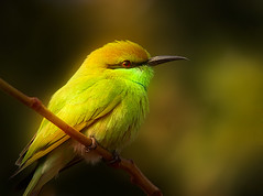 Green Bee-eater (Rajiv Lather) Tags: camera india birds fauna canon lens outdoors flickr little pics indian small feathers insects pic telephoto photographs processing perch redeye twitching birdwatching meropsorientalis resident haryana birdportrait karnal greenbeeeater birdphotography beeeaters littlegreenbeeeater meropidae birdclub coraciiformes glowingimage greatfocus greatdetail creamybokeh avianexcellence wonderfuldetail pinsharp gorgeousbokeh curvedbill wonderfulglow superbclarity genusmerops