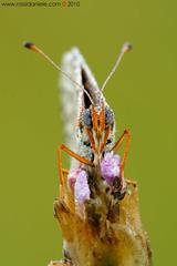 Ritratto di Melitaea Didyma (daniele.rossi) Tags: macro nature closeup canon butterfly insect meg natura toscana rugiada farfalla insetto naturesfinest supershot eos450d sigma180 melitaeadidyma lepidottero buzznbugz
