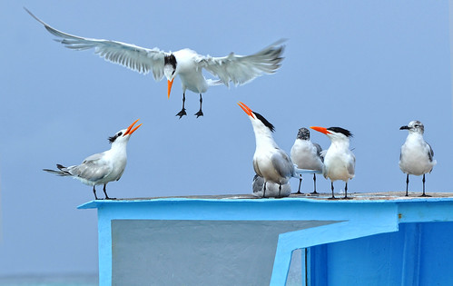 Royal Terns - Tobago