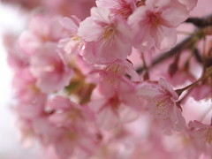 Cherry Blossoms (yubomojao) Tags: japan cherry    sakura osaka   fllower