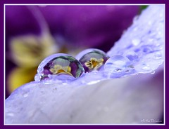 (Mirthe Duindam) Tags: macro reflection drops violets refrection paars purper druppels viooltjes mirthe flickrsbest duindam