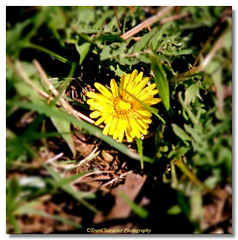 Nemisis on the Premises! (RufusZulu) Tags: spring raw southcarolina dandelions ♥ maxxum5d nemisis pspx2 corelpaintshopprox2 kycmhts towncharacterphotography