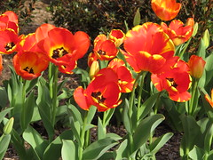 March 21, 2011 - Tulips (SusanKC) Tags: memphis project365 canong12