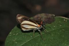 Vettius marcus (Hesperiidae: Pyrginae) (yakovlev.alexey) Tags: venezuela riocaura pyrginae