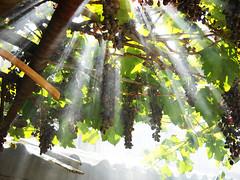 light (alex mihalcea) Tags: light sun sunlight grapes grapevine