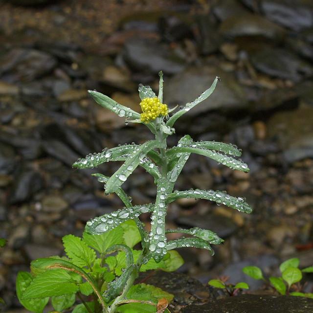 水噹噹的鼠麴草