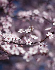 Disimulo los dibujos (Kris *) Tags: pink flowers light en flores tree primavera luz mi canon cherry 50mm march los spring rosa que dibujos has marzo cerezo piel 2011 enfoque dejado 50d disimulo xkrysx