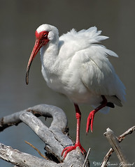 White Ibis 7932 (Bonnieg2010) Tags: bird florida ibis 1001nights whiteibis fantasticnature mygearandme amazingwildlifephotography bonniegrzesiak