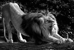 Cat Scratch Fever (Guido Havelaar) Tags: blackandwhite bw animal zoo blackwhite zwartwit lion schwarzweiss animalplanet artis noirblanc neroeblanco