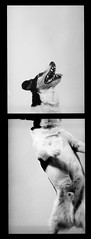 Domino Diptych (Emma L Mitchell) Tags: blackandwhite dog pet detail texture film tongue closeup portraits studio diptych unique features caring domino specific