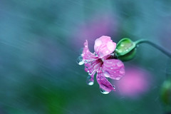 rain (nodie26) Tags: light flower color beautiful rain spring feel taiwan  hualien