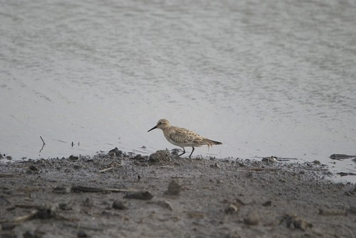 Baird's Sandpiper by Harold of the Rocks