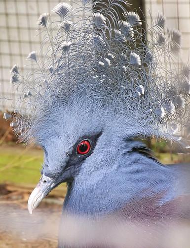 オウギバト(Victoria crowned pigeon)