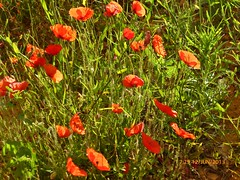 1232 (Marilia Boos) Tags: flores frana provence roussillon coquelicots passeiodebalo