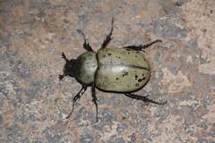 Escarabat (_nur) Tags: escarabat escarabajo beatle insecte insecto insect