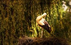 Storch (Delbrckerin) Tags: storch storck vogel bird natur nature nikond90 sigma150600mm