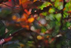 DSC_0013_01 (criscrot) Tags: parcsaintemarie nancy lorraine bokeh colors d200 50mm18 automne autumn couleurs