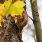 Orava, Squirrel, Kuopio thumbnail