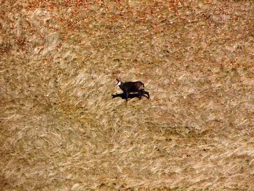 Un chamois broute dans la pente 002