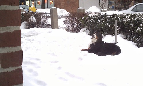 Snow Dog - Starbucks Wayland Sqr.