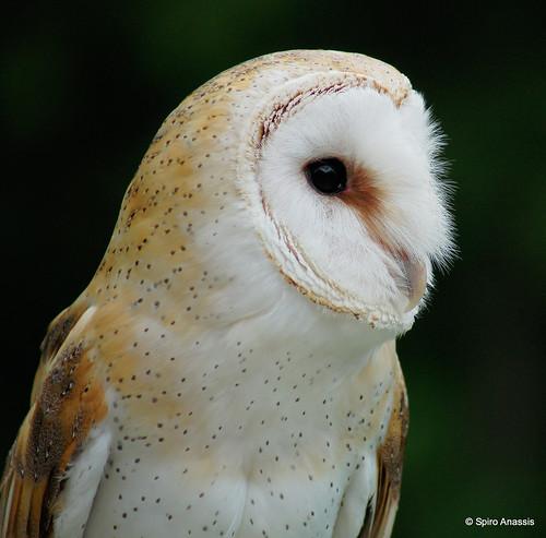 Barn Owl!