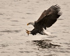 Classic Eagle Strike (mjb8216) Tags: nikon eagle ngc bald iowa d90 leclaire sigma150500mm slbfishing ld14