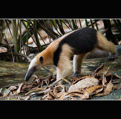 Anteater (Tamandua mexicana) - Corcovada National Park - Costa Rica (Lucie et Philippe) Tags: voyage trip travel mexicana america nationalpark costarica central corcovado anteater lasirena centrale osapeninsula amrique tamandua fourmilier