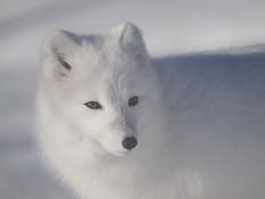 Arctic Fox_P1301030 (yukonchris) Tags: north northern wildanimals arcticfox whitehorse yukon canada yukonwildlifepreserve zuiko70300 olympuse30 winter cold snow explored wow