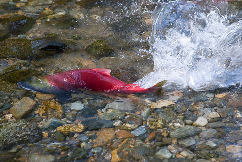 Sockeye swimming