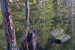 Marshland (robyenroute) Tags: wood trees canada reflection water rotting reeds britishcolumbia swamp stump reality marsh decaying galianoisland wetland