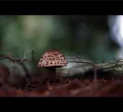 Shaggy Parasol (~Mike Potts Photography~) Tags: macro mushroom woods nikon bokeh magic fungi forestfloor elves shaggyparasol lepiotarachodes mikepotts
