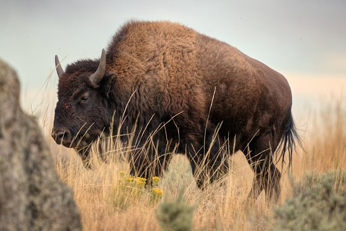 Bison in the Grass