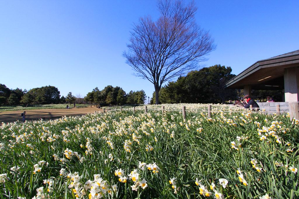 Kasai Rinkai Park Narcissus Festival (2)