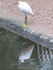 bird birds mexico playadelcarmen aviary egret snowyegret egrets quintanaroo tropicalbirds playacar egrettathula egretta playacaraviary aviarioxmanha