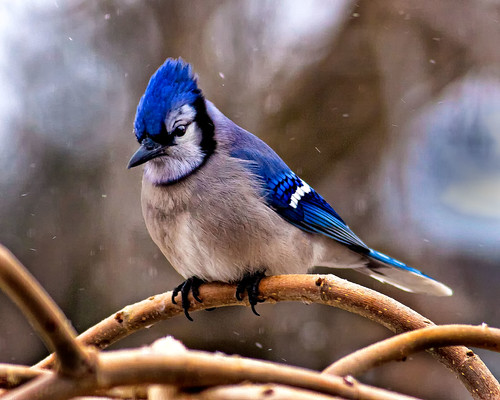 Mr. Blue Jay in the Snow
