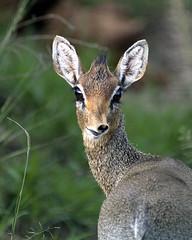 Dik Dik 002 (joannehedger) Tags: africa kenya masaimara kicheche coxandkings joannehedger printanimage httpjoannehedgerblogspotcouk