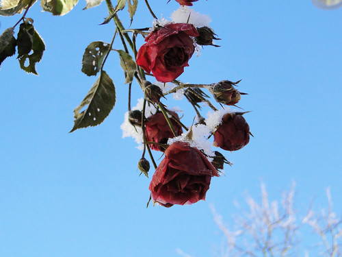 winter and roses